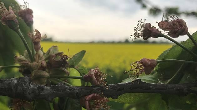 Většina třešní v nížinách vlivem vyšších teplot v minulých týdnech odkvetla ještě před 1. májem. Na snímku strom v aleji u Bohuňovic.