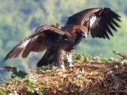 Anežka, mládě orla skalního na Libavé