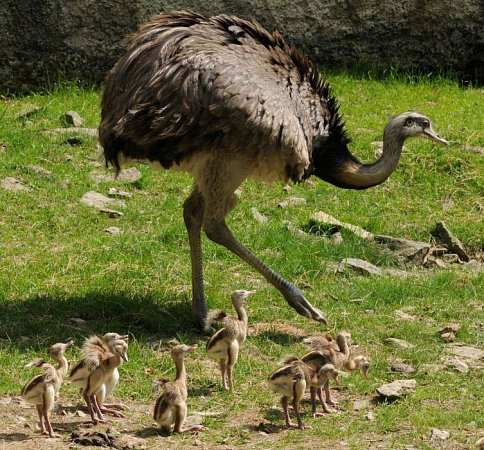 Mláďata nandu pampového volomoucké zoo