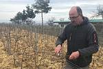 Vinař Oldřich Palička připravuje révu, aby se mohl těšit dobrou úrodou.  (22.2. 2020)