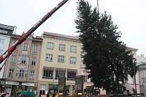 Přípravy na usazení vánočního stromu.