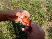 Pěstitelé rajčat na Litovelsku si zoufají. Úrodu jim letos likviduje cizokrajný škůdce - motýl makadlovka,Tuta Absoluta.