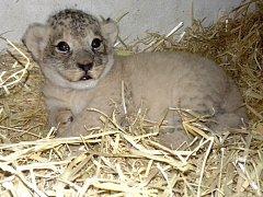 Jediné přeživší lvíče v olomoucké zoo