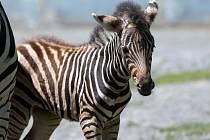 Čerstvým přírůstkem Zoo Olomouc je samička Zebry Chapmanové. Dostala jméno Tiombe.