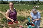 V Olomouci-Slavoníně začal populární samosběr jahod, 14. června 2021