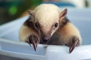 Mládě mravenečníka čtyřprstého v olomoucké zoo