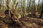 V městských lesích v okolí Olomouce při vichřici popadaly vzrostlé oslabené jasany. 12. 2. 2020