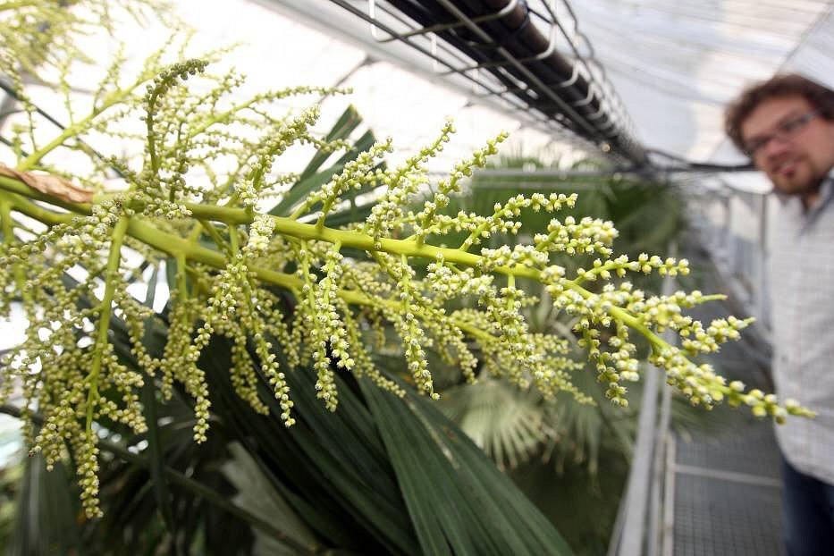 Rozkvetlý palmový skleník: stoletá palma