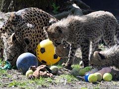 Děti ze Základní školy Vítězná v Litovli dovezli hračky gepardím koťatům v olomoucké zoo.