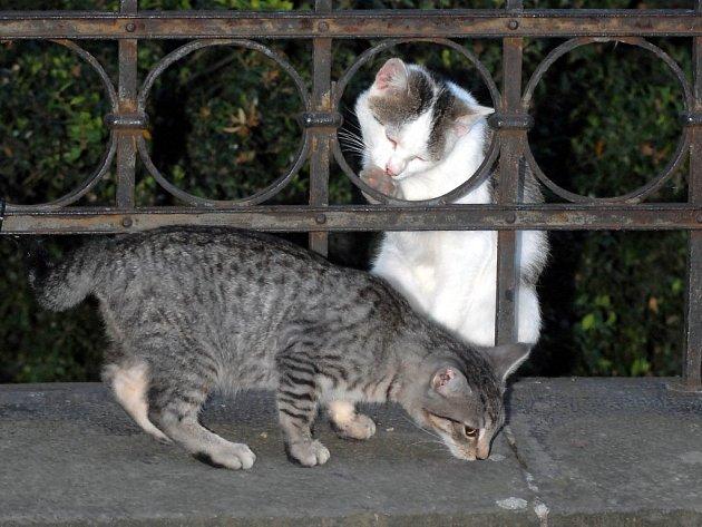 Zahrádku u Základní školy svaté Voršily v olomoucké Kateřinské ulici si oblíbily toulavé kočky.