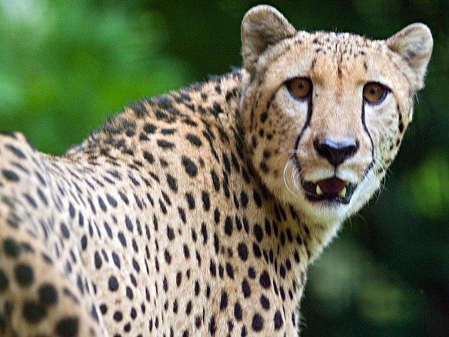 Gepardí samec Hobbit v olomoucké zoo