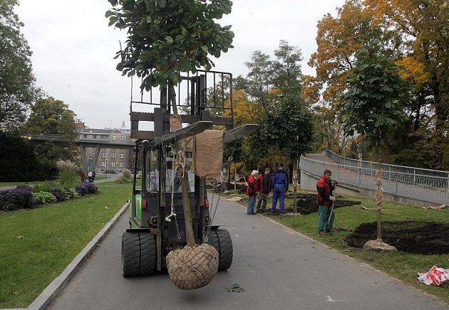 Sázení nových stromů v Rudolfově aleji ve Smetanových sadech