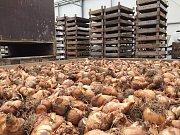 Radnice ve Šternberku nechala vysadit 15 400 cibulí narcisů okrasného česneku či ladoníku