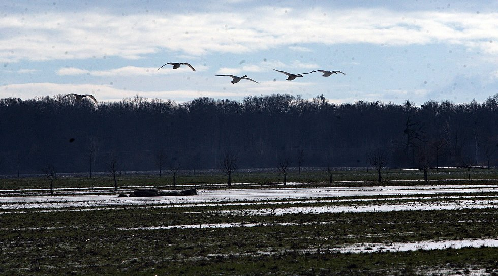 Labutě si oblíbily pole u Grygova. Ilustrační foto