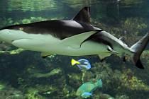 Samice žraloka černoploutvého z hodonínské zoo, která po ničivém tornádu přijde o pavilon akvárií, našla domov v Zoo Olomouc