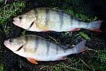 Okouni. Dva krásně barevní a pruhovaní zvědavci jsou velmi častým úlovkem místních rybářů.