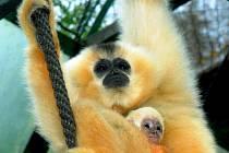 Olomoucká zoo se rozrostla o další giboní mládě