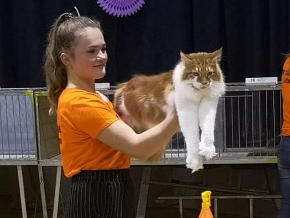 Dcera Elisabeth Pánková předvádí na výstavě mainskou mývalí kočku.