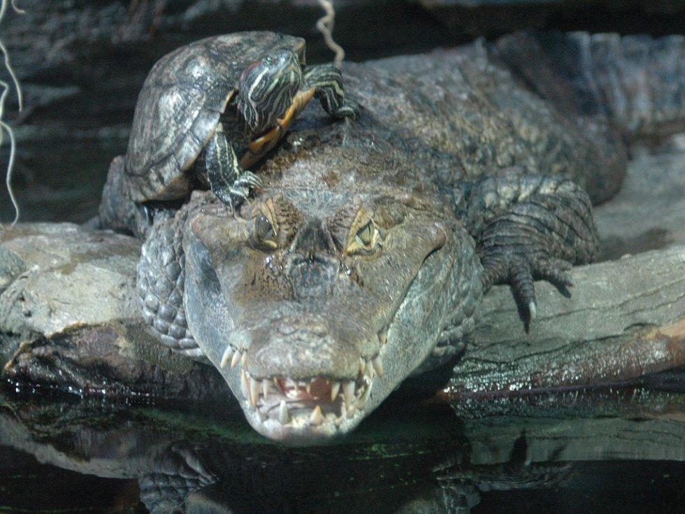 Želvy si z přítomnosti nebezpečného plaza nic nedělají.