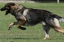Německý ovčák. Ilustrační foto