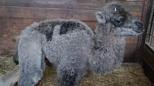 Malori, velbloudí slečna v olomoucké zoo