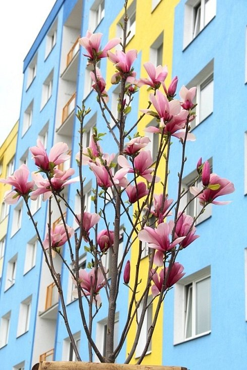 Ve Schweitzerově ulici v Olomouci vykvetly nové výsadby magnolií, začátek května 2021