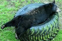 Mládě medvěda baribala, holčička Tracy, v olomoucké zoo