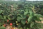 Samosběr jahod na plantáži v Olomouci-Slavoníně