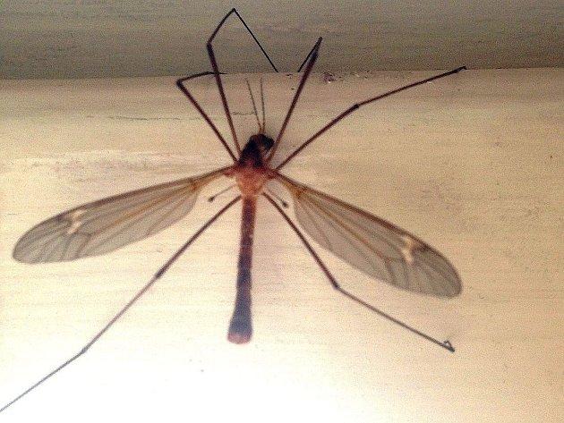 Tiplice patří do dvoukřídlého hmyzu, který má druhý pár křídel přeměněn v kyvadélka (na obrázku vypadají jako špendlíky zapíchnuté do trupu mezi druhým a třetím párem nohou), které hmyzu pomáhají udržet rovnováhu při letu.