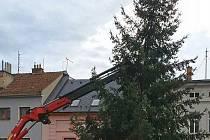 Hlavní náměstí ve Šternberku zdobí od čtvrtka 19. listopadu vánoční strom. Městu jej věnovala tamní Tělocvičná jednota Sokol.