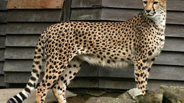 Gepardi v olomoucké zoo.