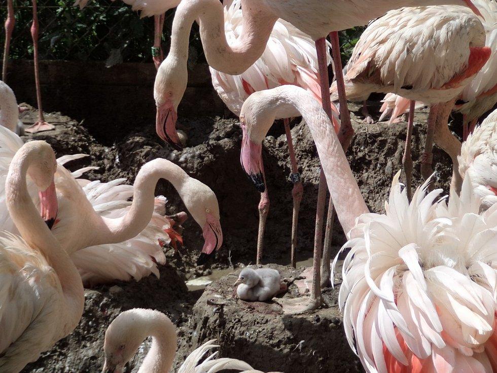 V Zoo Olomouc se líhnou dlouho vyhlížená mláďata plameňáků růžových