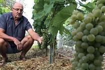 Vinař Oldřich Palička z Odrlic ukazuje ranou odrůdu Solaris.  26. srpna 2020