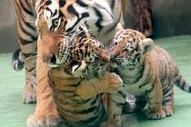 Mláďata tygra ussurijského v olomoucké zoo
