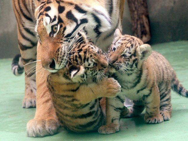 Mláďata tygra ussurijského volomoucké zoo