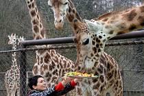 Křest u olomouckých žiraf. Kmotra malé Zweny, ředitelka multikina Cinestar Olomouc Dagmar Černíková