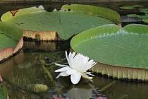 V tropickém skleníku výstaviště Flora dnes ráno vykvetl největší leknín světa.