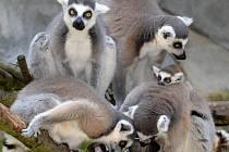 V lemuří tlupě v olomoucké zoo na Svatém Kopečku se narodila čtyři mláďata