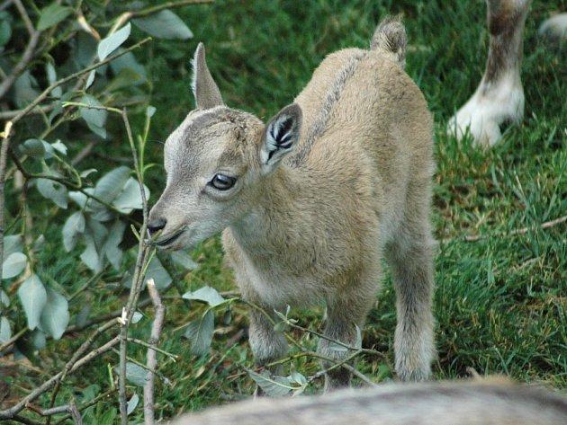 Z pěti mláďat koz šrouborohých se těší chovatelé v olomoucké zoo. Nyní se na ně mohou podívat už i návštěvníci.