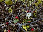 U Strejčkova lomu nedaleko Krčmaně začaly v říjnu kvést některé stromy a keře, například planá třešeň. Hned vedle ní roste šípková růže a na té dozrály šípky, přesněji souplodí nažek.