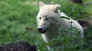 Výběh vlků Hudsonových v olomoucké zoo