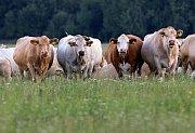 Krávy na pastvě.
