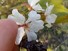 Ve Strejčkově lomu v říjnu rozkvetly některé stromy a keře, například tato ptačí třešeň.