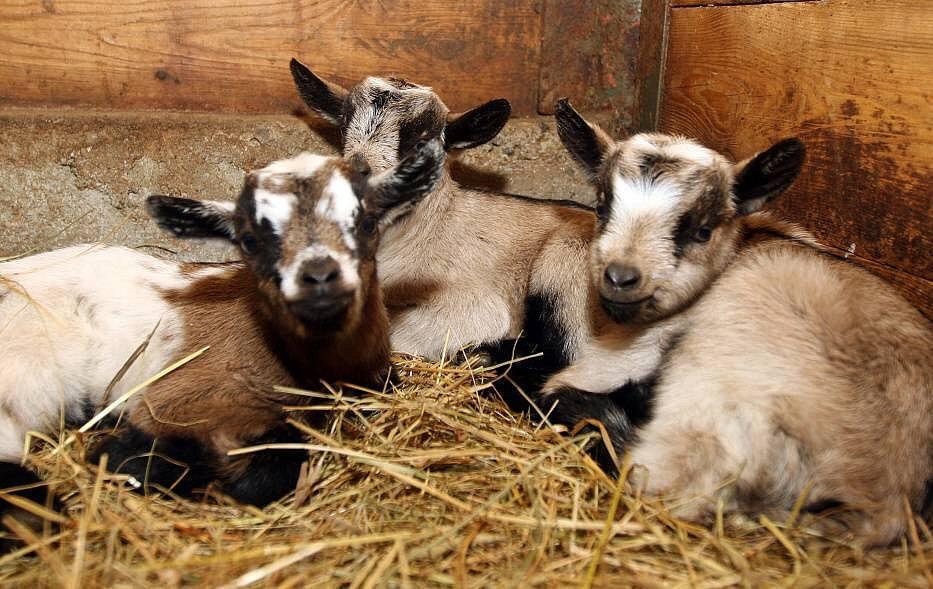 Mláďata kozy kamerunské v olomoucké zoo