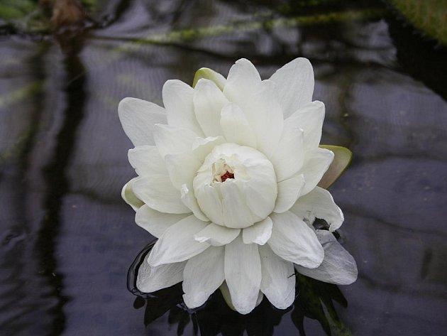 Ve sklenících zářil květ leknínu