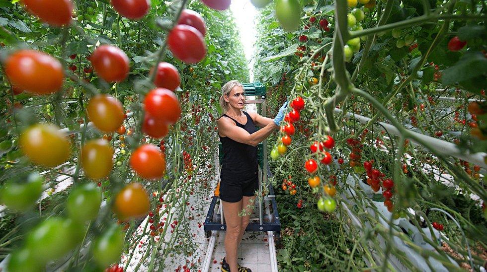 Sklizeň rajčat ve skleníku ve Smržicích