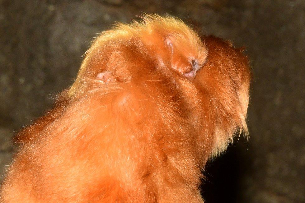 Zoo Olomouc, do skupiny lvíčků zlatých se narodila dvojčata.