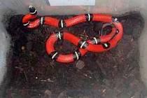 Olomoučtí hasiči odchytávali v koupelně olomouckého bytu v Jílové ulici tohoto cizokrajného hada