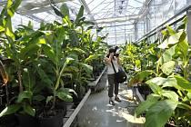 Výzkumné Centrum regionu Haná v Olomouci. Skleník s rostlinami banánovníku pro čtení genetických informací
