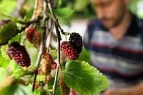 Plody moruše. Ilustrační foto